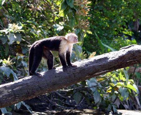 https://6jth9u6rwd-flywheel.netdna-ssl.com/wp-content/uploads/2015/10/Mangrove-monkey-tour-jaco-costa-rica1-450x368.jpg